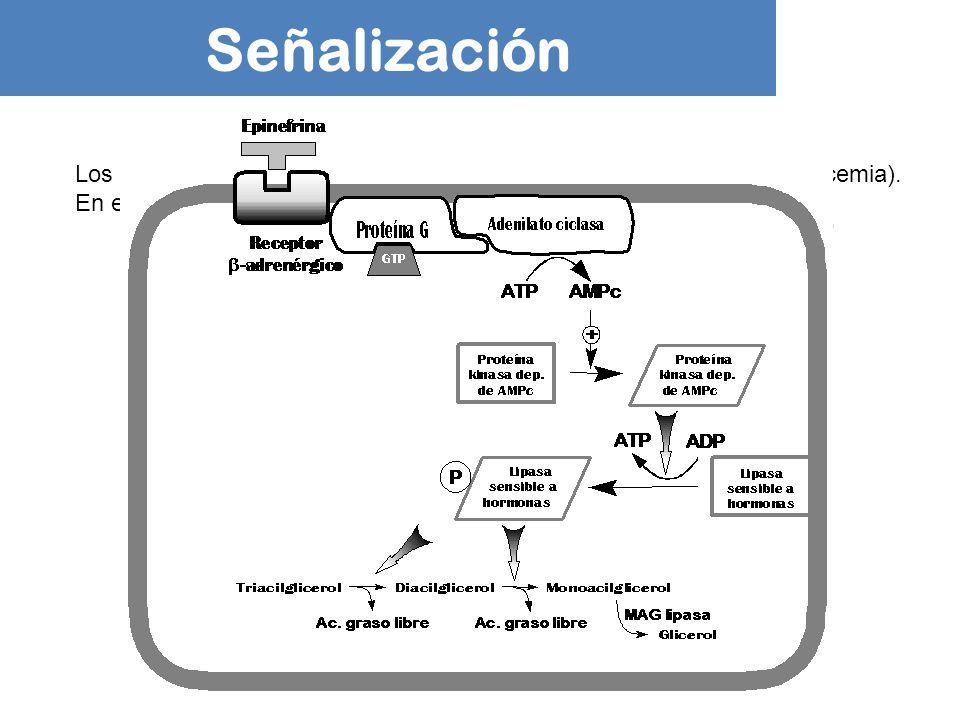 Señalización Los TAG son movilizados en respuesta a una baja [Glc] en sangre (glucemia). En esas condiciones: